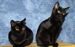Породы кошки с зелеными глазами