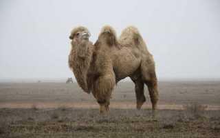 Сон — верблюд: к чему снится, толкование и значение сна по сонникам