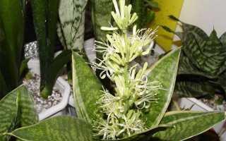 Всё о пользе и вреде цветка под названием щучий хвост. какие лечебные средства можно приготовить из сансевиерии?