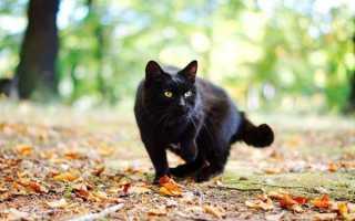 Что делать, если черная кошка перешла дорогу