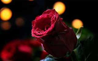 Обзор сортов красных роз и советы, кому и когда дарить такие цветы