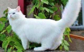 Особенности пород белых кошек с голубыми глазами