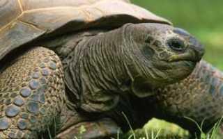 К чему снятся большие и маленькие черепахи: женщине, беременной, мужчине, кормить или ловить их