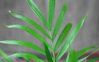 Пальма хамедорея: приметы и суеверия. можно ли держать эту красавицу дома?