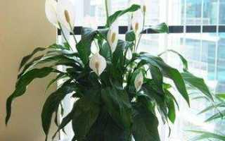 Что представляет собой цветок женское счастье, как его выбрать при покупке и каким образом ухаживать за растением?