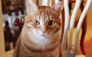 Рыжий кот в доме: приметы и суеверия