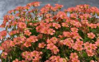 Популярная в комнатном цветоводстве кислица (оксалис): описание, фото и виды растения