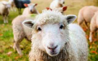 К чему снятся овцы