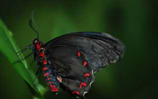 К чему согласно соннику снятся бабочки