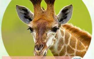 К чему снится жираф