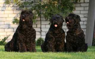 Черная говорящая собака