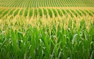 Поле кукурузное