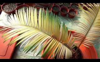 Цикас (саговая пальма): описание, фото, уход в домашних условиях