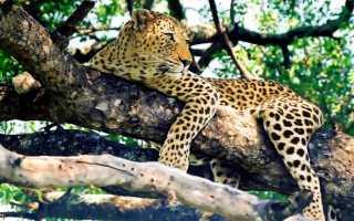 К чему снится леопард женщине, девушке, мужчине — сонник