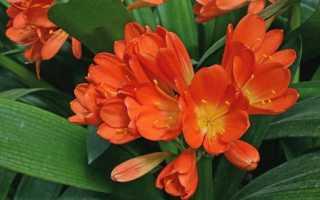 Приметы и суеверия, связанные с кливией: кому подойдет небезобидный цветок?