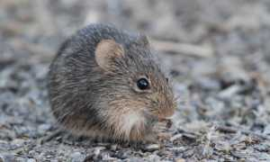 К чему снятся мыши и крысы: толкование по различным сонникам
