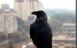 Птица залетела в окно квартиры или офиса