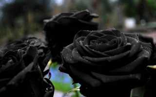 Существует ли в природе и селекции черная роза