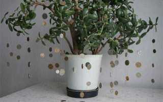 Можно ли денежное дерево держать дома, куда лучше ставить? самые распространенные приметы и суеверия о толстянке