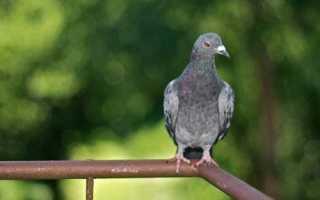 Голубь случайно залетел на балкон: толкование приметы